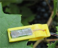 Leaf Sensor affixed to grape leaf